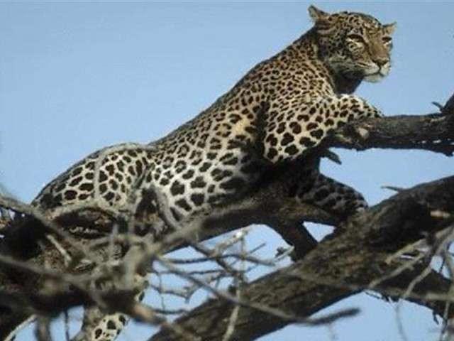 فهود اسود ونمور برية الحيوانات المفترسة feline6.jpg
