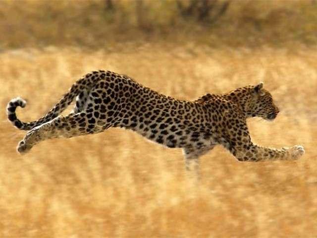فهود اسود ونمور برية الحيوانات المفترسة feline9.jpg