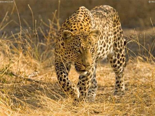 فهود اسود ونمور برية الحيوانات المفترسة feline5.jpg